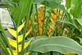 Heliconia bihai Island Yellow 2zz.jpg