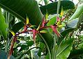 Heliconia psittacorum kz2.jpg
