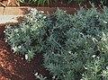 Heliotropium anomalum var. argenteum (5187438931).jpg