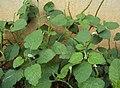 Heliotropium indicum 02.JPG