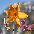 Hemerocallis dumortieri var. esculenta (flower s5).jpg