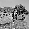 Herder te paard met kudde runderen in een heuvelachtig en boomrijk landschap ve…, Bestanddeelnr 255-4627.jpg
