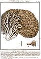 Hericium coralloides (Bulliard, 1789).jpg