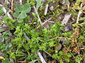Herniaria glabra bords-moselle-tonnoy 54 11052002 3.JPG