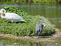 Heron and swan (both preening) (14380465795).jpg
