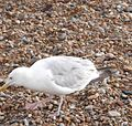 Herring Gull 006.JPG