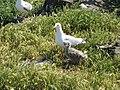 Herring Gulls, Fidra - geograph.org.uk - 1559090.jpg
