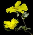 Hibbertia quadricolor - Flickr - Kevin Thiele.jpg