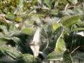 Hieracium peleterianum16.jpg
