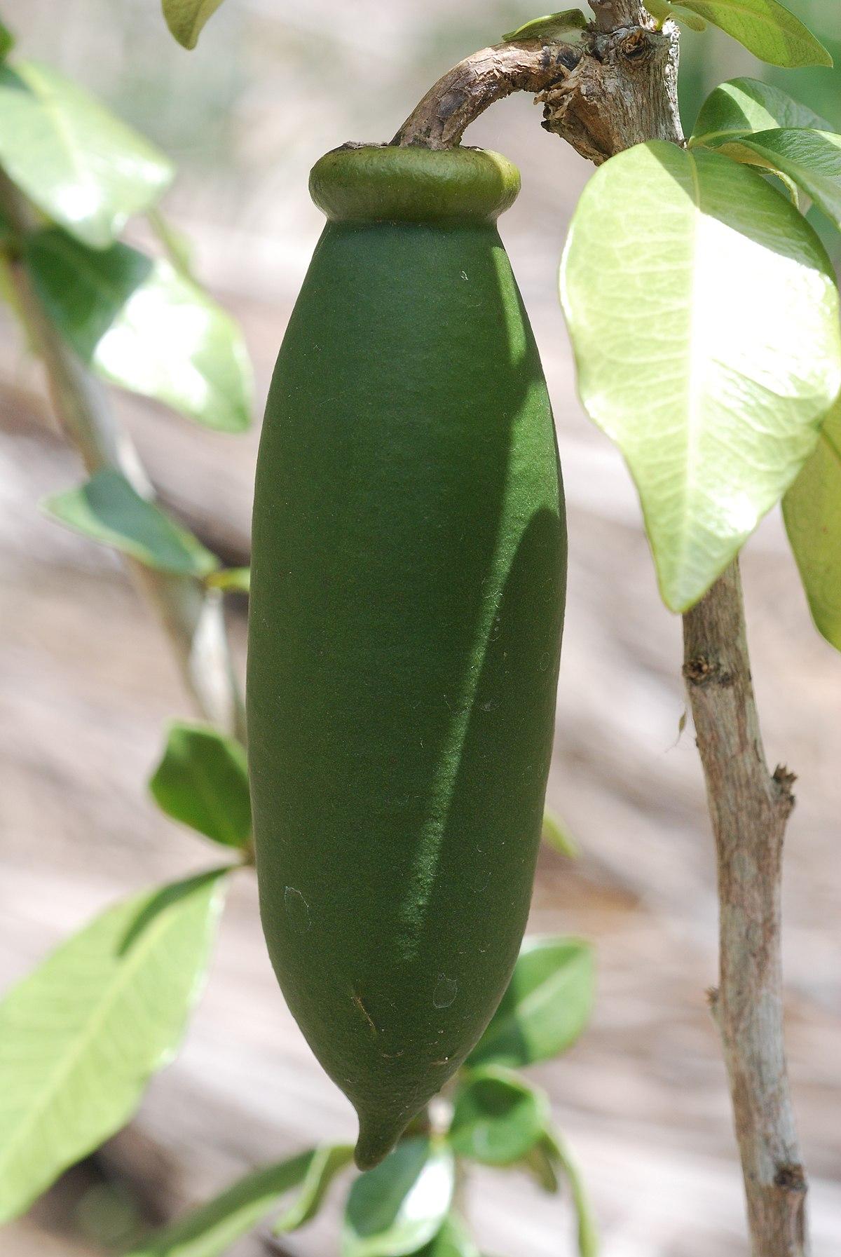 Crescentia portoricensis wikispecies for Sierra fish in english