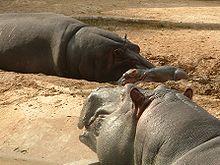 Hipopotamos.jpg