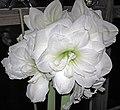 Hippeastrum sp. (amaryllis) 3 (32330862290).jpg