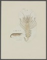 Hippolytus spec. - - Print - Iconographia Zoologica - Special Collections University of Amsterdam - UBAINV0274 097 08 0003.tif