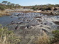 Hippopotamus amphibius in Tanzania 2805 Nevit.jpg
