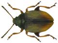 Hippuriphila modeeri (Linné, 1761).png