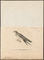 Hirundo melanoleuca - 1700-1880 - Print - Iconographia Zoologica - Special Collections University of Amsterdam - UBA01 IZ16700169.tif