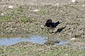 Hirundo rustica - Barn Swallow 02.jpg