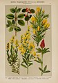 Hoffmann-Dennert botanischer Bilderatlas (Taf. 43) (6425003791).jpg