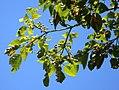 Homalanthus tree RBG Sydney.jpg