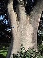 Honolulu-sandboxtree-trunk.JPG