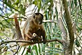Hooded Capuchin (Sapajus cay) eating fruits of Urucuri Palm (Attalea phalerata) (31827319395).jpg