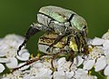 Hoplia-argentea-01-fws.jpg