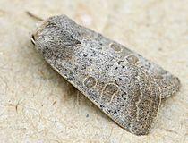 Hoplodrina blanda01.jpg