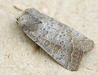 <i>Hoplodrina blanda</i> Species of moth