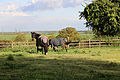 Horses in paddock at Stapleford Tawney, Essex, England.jpg