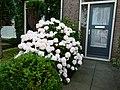 Hortensia in bloei en de fotograaf - panoramio.jpg