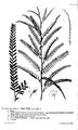 Hortus Cliffortianus Parkinsonia.png