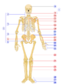 Human skeleton front numbered.png