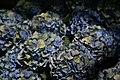 Hydrangea macrophylla Mathilda Gutges 2zz.jpg