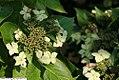 Hydrangea macrophylla macrophylla normalis 2zz.jpg