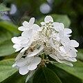 Hydrangea paniculata fleurs.jpg