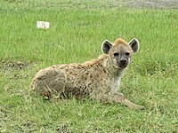 Hyena in Lake Nakuru National Park.JPG