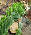 Hyoscyamus niger (henbane) (White Cap Mine, east of Keystone, Black Hills, South Dakota, USA) 4 (19814769795).jpg