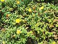 Hypericum calycinum in Chihaya Central Park.JPG