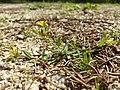 Hypericum humifusum sl5.jpg