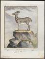 Ibex alpinus - 1700-1880 - Print - Iconographia Zoologica - Special Collections University of Amsterdam - UBA01 IZ21300159.tif