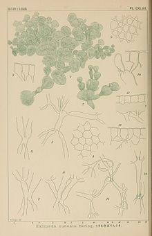 Icones of Japanese algae (Pl. CXLVII) (8006327646).jpg