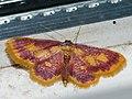 Idaea muricata - Purple-bordered gold - Малая пяденица красноватая (40079508435).jpg
