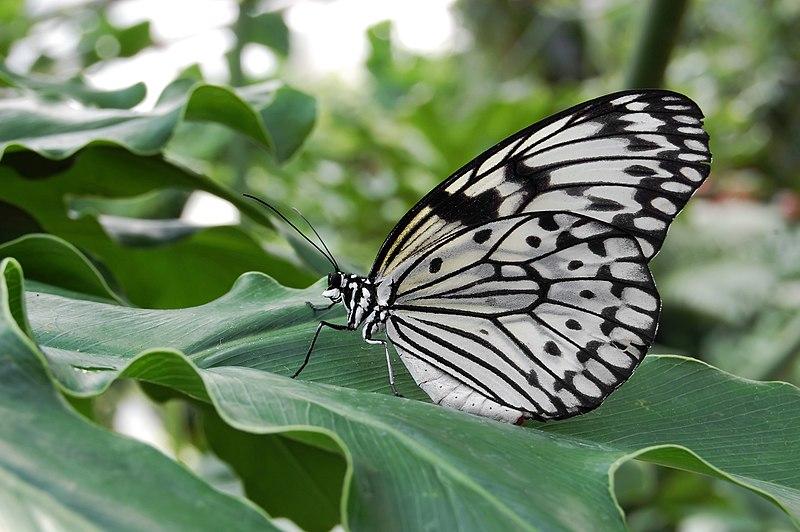 File:Idea leuconoe Weiße Baumnymphe.jpg