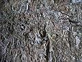 Ilex mitis bark - Kirstenbosch botanical garden - 2.jpg