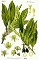 Illustration Laurus nobilis1.jpg