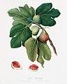 Illustration from Pomona Italiana Giorgio Gallesio by rawpixel00032.jpg
