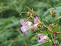 Impatiens sulcata - Gigantic Himalayan Balsam on way from Govindghat to Gangria at Valley of Flowers National Park - during LGFC - VOF 2019 (4).jpg