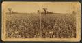 In the great corn fields of eastern Kansas, U.S.A, by Underwood & Underwood.png