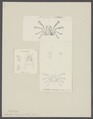 Inachus aranea - - Print - Iconographia Zoologica - Special Collections University of Amsterdam - UBAINV0274 095 19 0007.tif