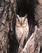 Indian (Collared?) Scops Owl